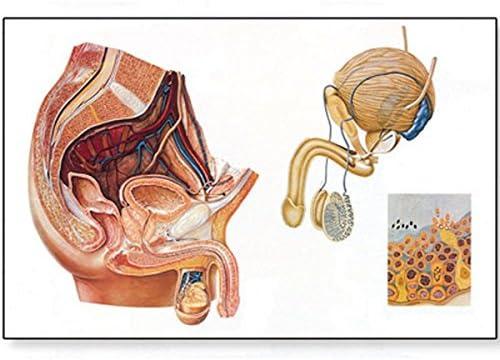 3b scientific human anatomy - male pelvic organs chart: amazon co uk:  business, industry & science
