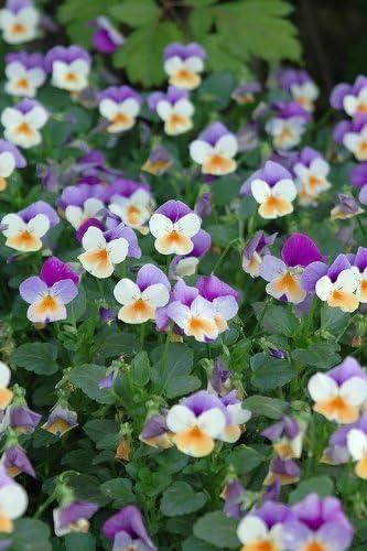 400//2400 Semi Marshmallow Selvatica Viola Bianca Althaea Officinalis Fiore