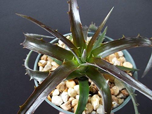 Dyckia Burgundy Ice rare succulent air plant exotic bromeliad agave cacti 4