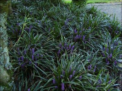 Classy Groundcovers, Lily Turf 'Royal Purple' Lilyturf, Border Grass, Monkey Grass (25 Pots, 3 1/2 inches Square)