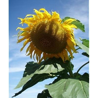 50 GIANT TITAN Sunflower seeds. HUGE : Garden & Outdoor