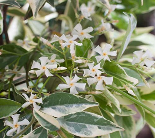 Confederate Jasmine Variegated - 60 Live Plants - Trachelospermum Jasminoides Variegatum - Fragrant Blooming Evergreen Vine by Florida Foliage (Image #5)