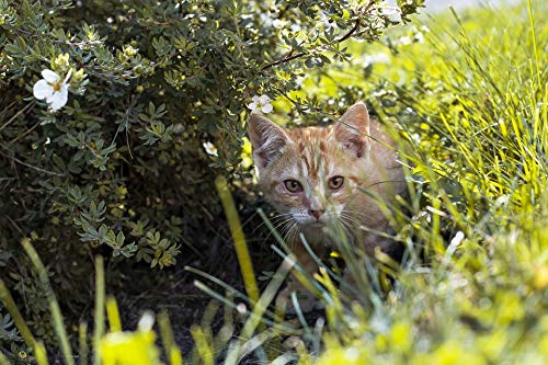 Home Comforts Peel-n-Stick Poster of Kitten Nature Grass Cat Redhead Vivid Imagery Poster 24 x 16 Adhesive Sticker Poster -