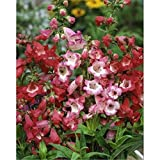 Beautiful Garden Vigorous 200 PENSTEMON HETEROPHYLLUS BLUE SPRING FLOWER SEEDS / PERENNIAL New 1