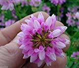Crown vetch-Penngift,Attractive,Perennial,Ground Cover.Approx.8,000 Seeds Per Oz(1/4 Pound)