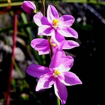 Amazon.com  * Ixia Scillaris * Beautiful Unique Pink