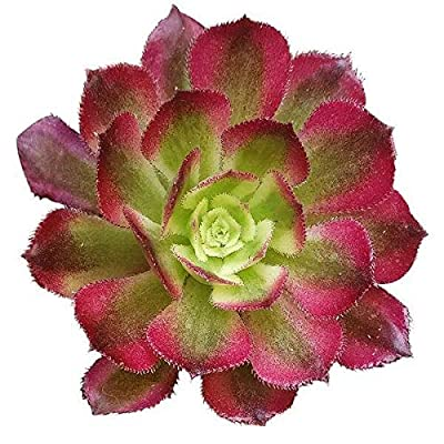 Aeonium Mardi Gras 2 inch | Premium Colorful Collection of Live Aeonium Succulent Plants | Healthy Rosettes Succulents Fully Rooted in 2/4/6 inch Sizes | Mother's Day Gift Rare Varieties : Garden & Outdoor