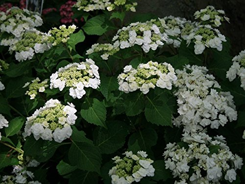 Wedding Gown White Double Delights Hydrangea - Live Plant - Quart Pot by New Life Nursery & Garden (Image #1)