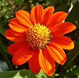Mexican Sunflower Flower Seeds,100+ Premium Heirloom Seeds, (Tithonia rotundifolia), Isla's Garden Seeds, 90% Germination Rates, Highest Quality Seeds