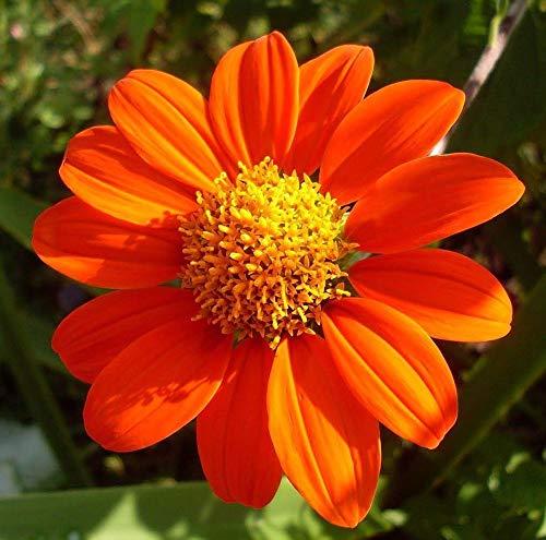 (Mexican Sunflower Flower Seeds,100+ Premium Heirloom Seeds, (Tithonia rotundifolia), Isla's Garden Seeds, 90% Germination Rates, Highest Quality Seeds)