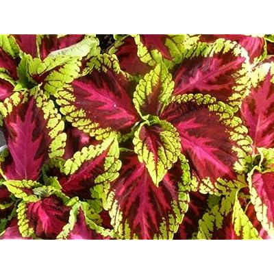 15 Pelleted Seeds Coleus Kong Rose Giant Coleus Seeds : Garden & Outdoor