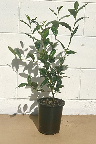 Camellia Sinensis - 1 Gallon Container - Large & Beautiful Live Tea Plant - Black White Green & Oolong (Wine Grape Bonsai Tree)