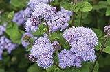 David's Garden Seeds Flower Ageratum Tall Blue Planet (Blue) 100 Non-GMO, Hybrid Seeds