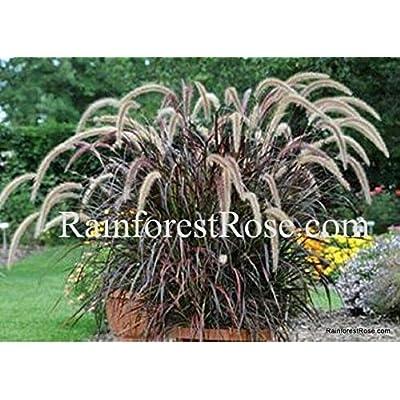 Pennisetum xadvena Rubrum 38 Purple Fountain Ornamental Grasses Zone 9-10 : Garden & Outdoor