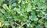 Fenugreek Herb, NON-GMO, Heirloom, 1 lb seed
