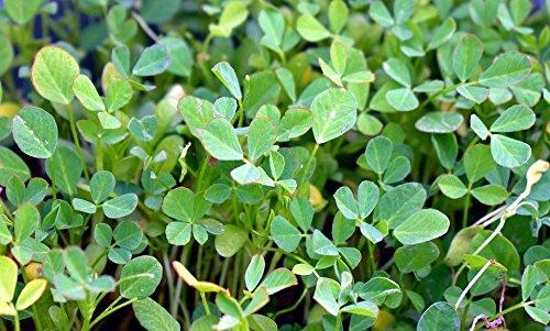 Fenugreek Herb, NON-GMO, Heirloom, 1 lb seed by MW115 (Image #1)
