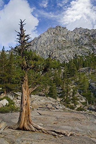 Trees Lake Tahoe Pine Poster 24x16 Adhesive Decal ()