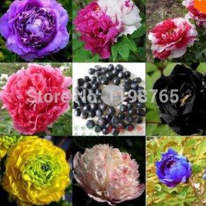10 Samen Bag 24 Farben Pfingstrose Sat Blumentopfe Pflanz