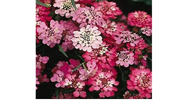 Candytuft Red Candy Cane Flower Seeds Iberis Umbellata Annual 50