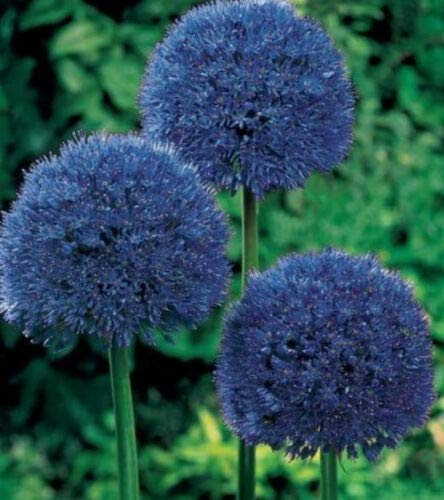 Blue Giant Allium Giganteum Flower Seeds 80 Seeds