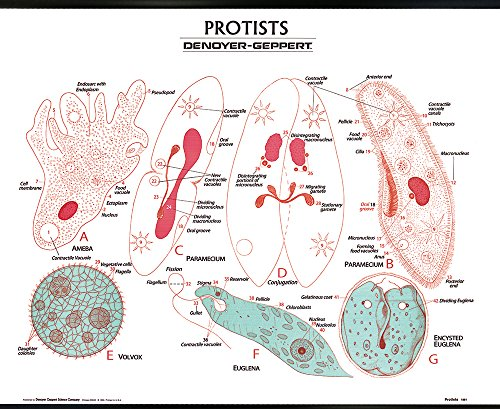 (Protista Wall Chart, with plastic edging for hanging)