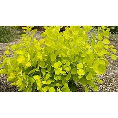 AchmadAnam - Live Plant - COTINUS 'Golden Spirit'. E4 : Garden & Outdoor