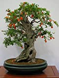 15 Seeds Punica Granatum Nana (Dwarf Pomegranate) Fruit Tree Great for Bonsai by Seeds and Things
