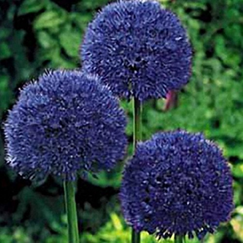 Lioder 30Pcs Allium Giganteum Seeds Ornamental Plants Seeds Courtyard Garden with Flower Seeds
