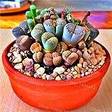 PlenTree 100 piezas Lithops Flores suculentas Variedades Mix como piedra rara e suculentas Bonsai para el jardín de: 1