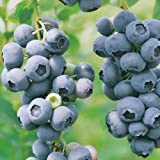 how to grow a little fruit tree - Blueberry Plants