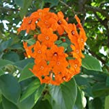 Cordia sebestena ORANGE GEIGER TREE ~SEEDS~