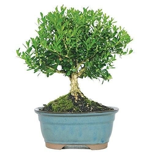 Bonsai Harland Boxwood Tree Beautiful Plant 3 Years Indoors or Outside Best (Boxwood Bonsai Tree)