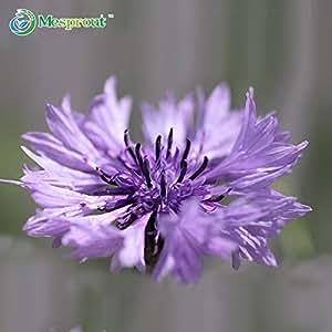 100 semillas PC púrpura aciano semillas de plantas Bonsai Balcón Patio Jardín flores en maceta casero de la azotea Centaurea Flores de semillas