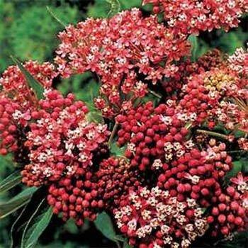 (Outsidepride Swamp Milkweed Asclepias Incarnata Carmine-rose Plant Seed - 500 Seeds)
