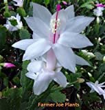 "CHRISTMAS - THANKSGIVING - HOLIDAY CACTUS - WHITE - 1 PLANT = 4"" POT"