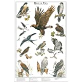 (23x35) Birds of Prey II Hawk Eagle and Falcon Identification Chart Poster