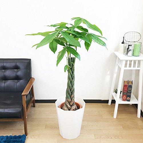 パキラ 金のなる木 観葉植物 スタイリッシュな白色鉢カバー付 インテリア 中型 大型 B019I3MFMA