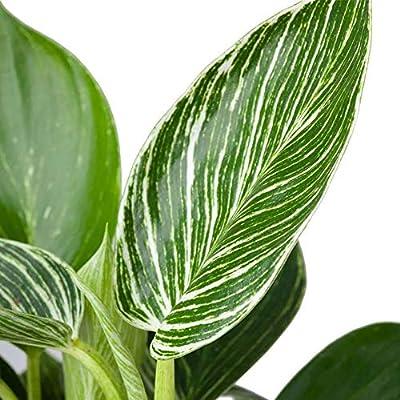 AMERICAN PLANT EXCHANGE Philodendron Birkin Ultra Rare Live Plant, 4