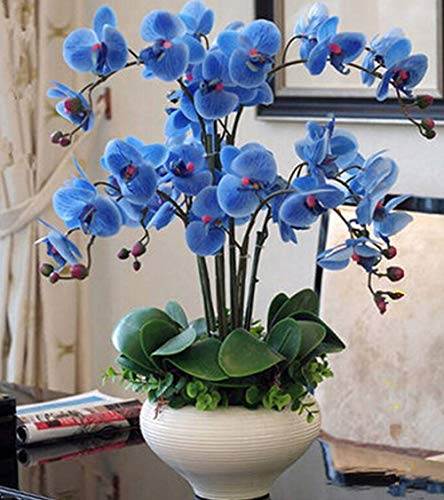 Orchid Phalaenopsis Flower (Phalaenopsis Orchids 20pcs Seeds Beautiful Garden Bonsai Balcony Flower Butterfly Orchid Bonsai Hydroponic Flower Plant for Four Seasons Perennial Flowering Plants Potted Charming (Blue))