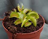 Venus Fly trap Dionaea Muscipula PLANT (not seed) in 9cm pot carnivorous plant