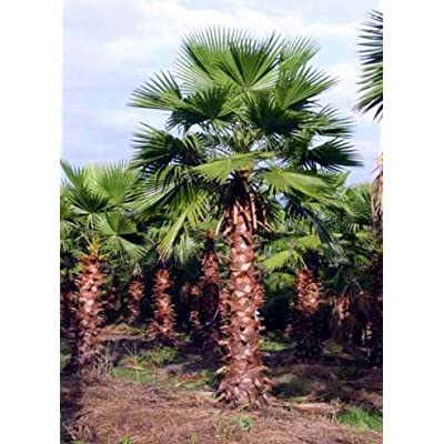Fresh Cheap Trees Seeds Mexican Fan Palm Get 50 Seeds Easy Grow #FAY01YN : Garden & Outdoor