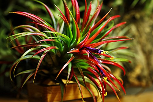 Biotope Aquatics Ltd Flowers annually Very Easy to Keep air Plant Airplant Tricolor MELANOCRATER