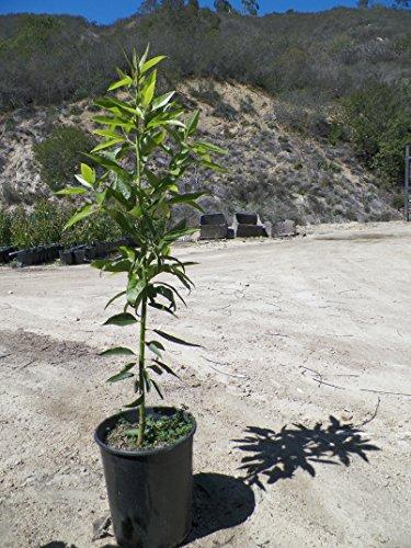 nabal-avocado-fruit-tree-3-4-ft-tall