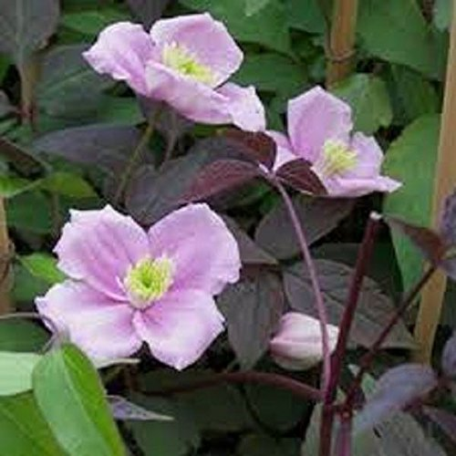 Clematis Montana 'Mayleen' plant in 3L pot with 3' cane Perfect Plants