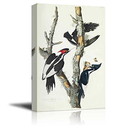 Beautiful Illustration of an Ivory Billed Woodpecker by John James Audubon