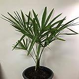 Windmill Palm, Trachycarpus fortunei, Tree 10 Seeds