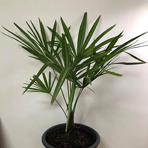(Windmill Palm Trachycarpus fortunei 3 Year Old Seedlings. Live Plant. Cold Hardy)