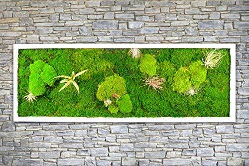 Pflanzenbild Moosbild mit lebenden Pflanzen 100 x 35 cm Wandbild mit Tillandsien Wanddeko Bilder Wandbilder kaufen Poster Moosbilder Pflanzenbilder (schwarz)