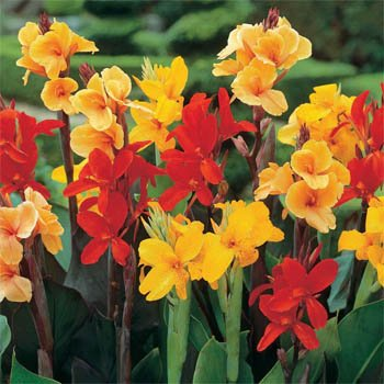 Outsidepride Canna Lily Indica Flower Seed - 50 Seeds ()