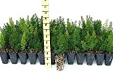 Foxtail Fern Myers Qty 36 Live Plants Groundcover Asparagus Densiflorus Myersii